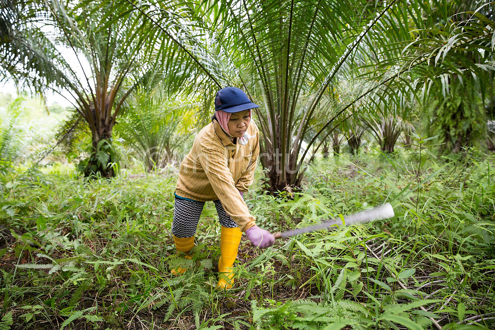 Fatimah Binti Jalal - a smallholder palm oil farmer - cuts back weeds on her plot in Toniting, Beluran District, Sabah, Malaysia, on 8 September 2016. Fatimah has been farming her small plot since 2005, but the soil is sandy and not very productive. She has been able to increase her yields since becoming part of the Wild Asia Group scheme, which works with the Roundtable on Sustainable Palm Oil to support Malaysian smallholders to become certified sustainable. This includes improving farm management, reducing their use of pesticides and fertilizers, and increasing yields. Smallholders account for 40% of global palm oil production, and as such play an important role in increasing sustainability within the industry.