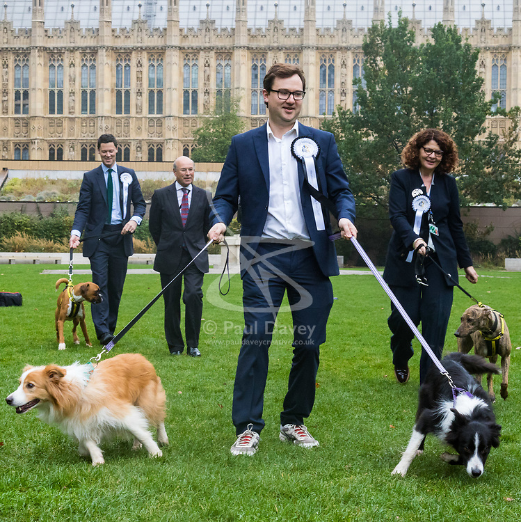 London, October 26 2017. Border Collies Boomer and Corona appear to take Alex Norris MP (Labour - Nottingham North) for a walk at the annual Kennel Club and Dogs Trust Westminster Dog Of The Year competition that sees MPs and members of the House of Lords with their dogs as well as rescue dogs from the Dogs Trust. © Paul Davey