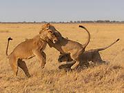 Sub-adult lion cubs (Panthera leo) playing together, Savuti, Botswana