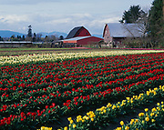 Spring bloom of tulips at the Skagit Valley Bulb Farm during the Skagit Valley Tulip Festival near Mount Vernon, Washington.
