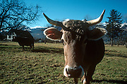 Alpine brown cows graze in sunlit winter pasture on Inglebert Seger's Vaduz farm on the Liechtenstein valley floor.