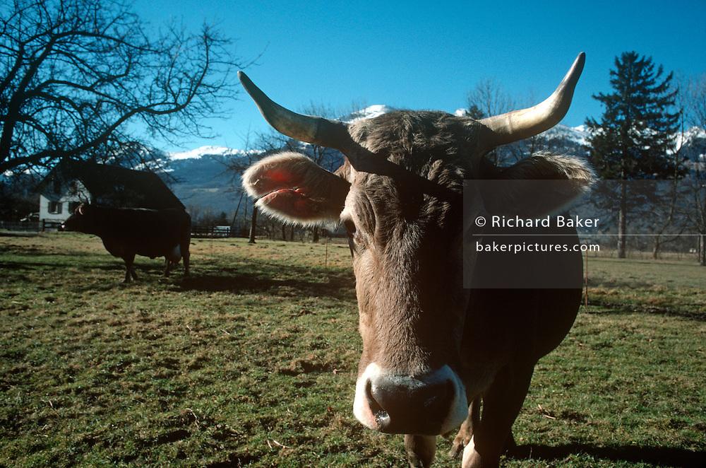 Alpine brown cows graze in sunlit winter pasture on Inglebert Seger's Vaduz farm on the Liechtenstein valley floor.