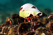 Israel, Mediterranean sea, – Underwater photograph of a Red Hermit Crab or Small Hermit Crab (Diogenes pugilator)