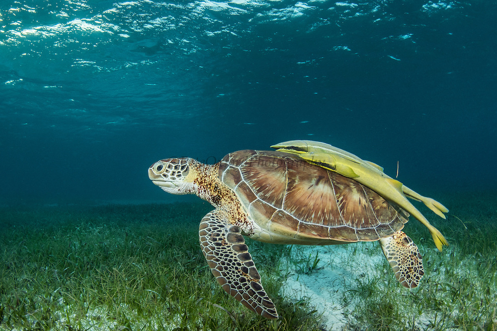 Green Sea Turtle (Chelonia mydas) & Remoras<br /> Shark Ray Alley<br /> Hol Chan Marine Reserve<br /> near Ambergris Caye and Caye Caulker<br /> Belize<br /> Central America<br /> Feeding on Sea Grass