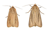 73.136 (2369)<br /> Bulrush Wainscot - Nonagria typhae
