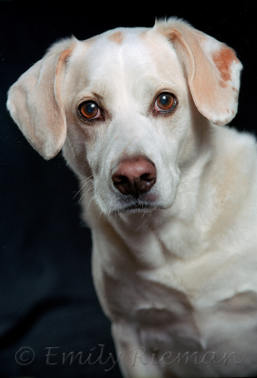 white dog with tan spots