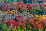 Looking down at peak fall colors in the Beaver Basin Wilderness at Pictured Rocks National Lakeshore, Michigan, USA