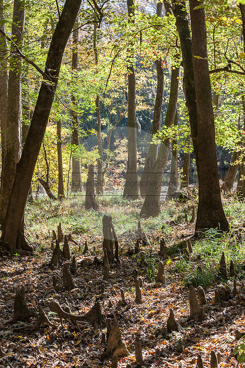 Bald cypress knees poke up through the ground at Congaree National Park, the largest intact expanse of old growth bottomland hardwood forest remaining in the southeastern United States in Columbia, South Carolina.