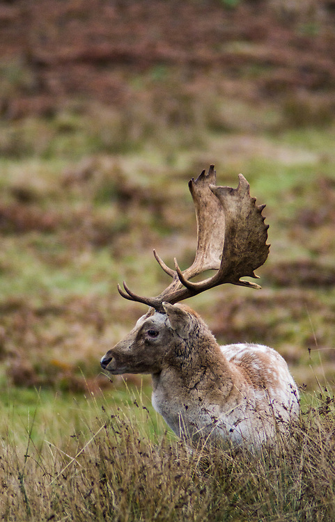 Fallow Deer at Bradgate Park, Leicestershire.