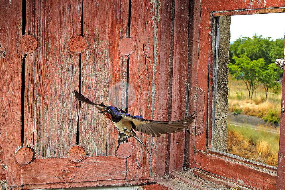 Golondrina Común © / PILAR REVILLA ©Country Sessions / PILAR REVILLA