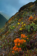 Indian Paintbrush and other wildflowers in bloom on hillside along the Big Sur Coast, Monterey County, California
