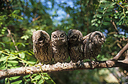 European Scops Owls (Otus scops) on a tree, Hefer valley, Israel in October