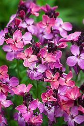 Cheiranthus cheiri F1 Hybrid 'Sunset Dark Purple'. Wallflower