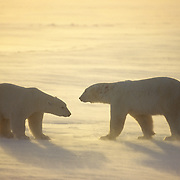 Polar Bear (Ursus maritimus) on the frozen ice of Hudson Bay during the evening. Churchill, Manitoba, Canada