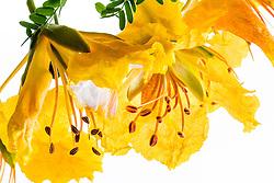 Yellow Poinciana#26