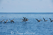 brown boobies, Sula leucogaster, launching themselves off the water, offshore from southern Costa Rica, Central America ( Eastern Pacific Ocean )