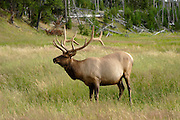 Wild Elk in Yellowstone National Park