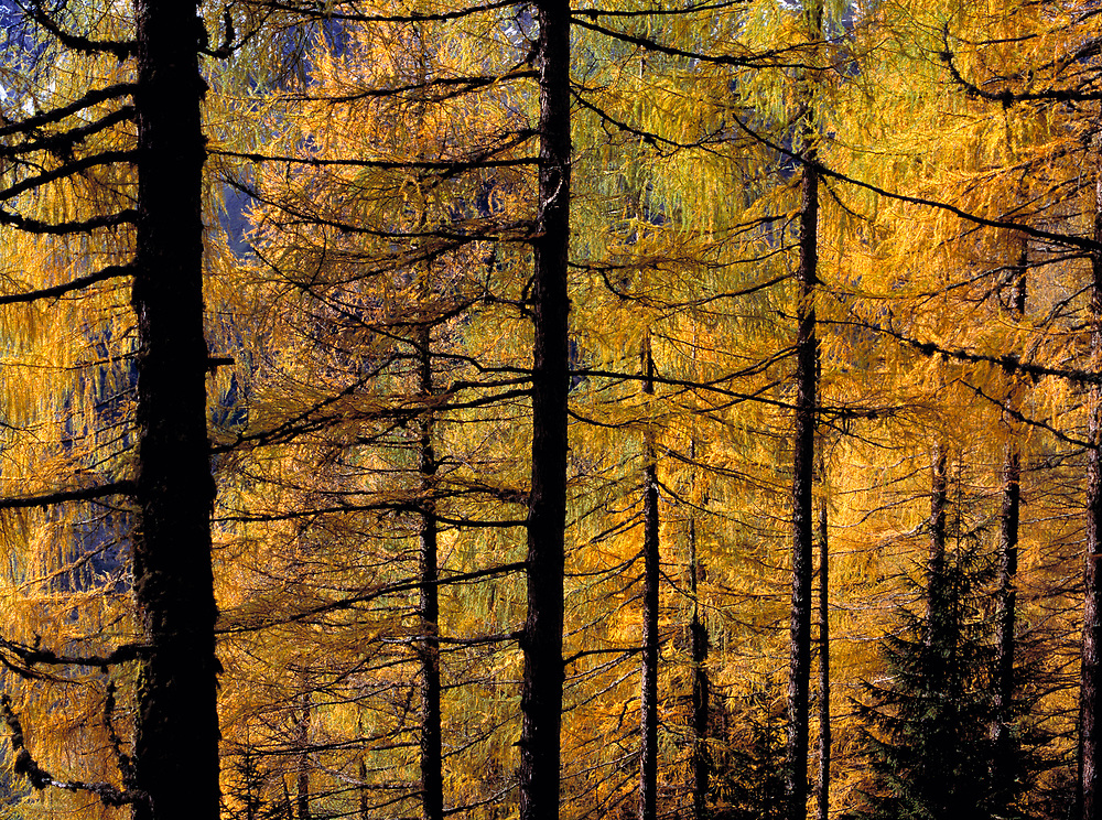 Autumn-touched larch trees make a mosiac of Grossglockner Pass, Austria. ©Ric Ergenbright