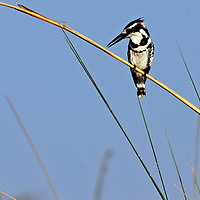 Africa, Botswana, Okavango Delta. Pied Kingfisher, a common water kingfisher in the Okavango Delta.
