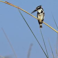 Africa, Botswana, Okavango Delta. Pied Kingfisher, a common water kingfisher in the Okavango Delta.