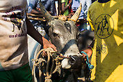 Bull owners queue spending many hours waiting with their beast for their chance to enter the Jallikattu.
