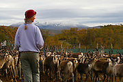 Reindeer slaghtering by the sami group of Saanti Sijte/Essand in the mountains of Mid-Norway. This woman are one of the few female herders, but all the familiy participate when the herd is gathered for slaghtering.