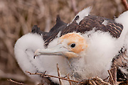 A great frigatebird chick (Fregata minor) nesting on Genovesa Island, Galapagos Archipelago - Ecuador.