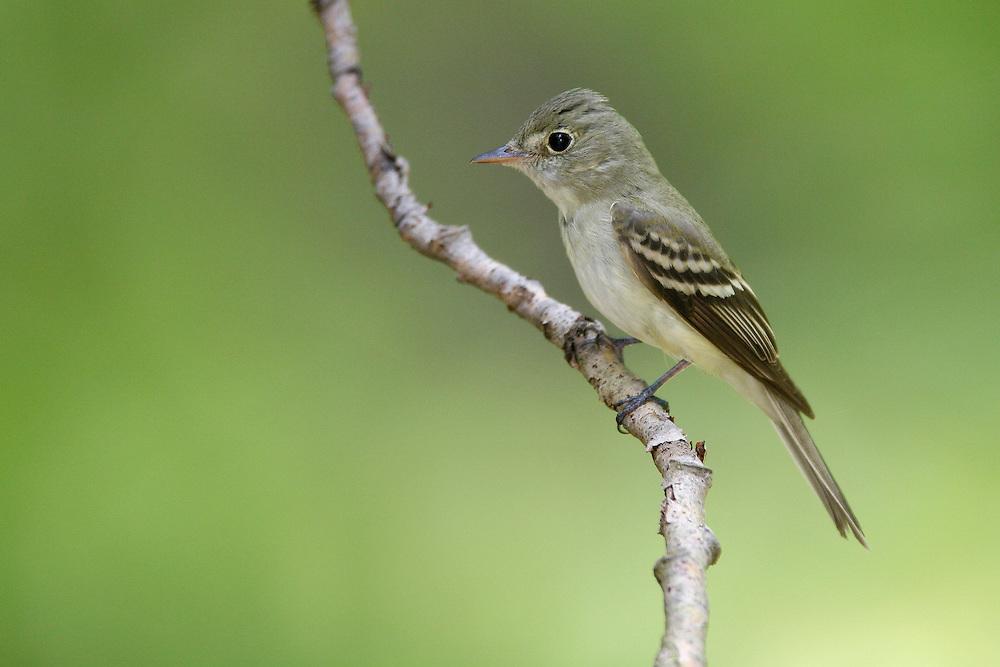 Acadian Flycatcher - Empidonax virescens