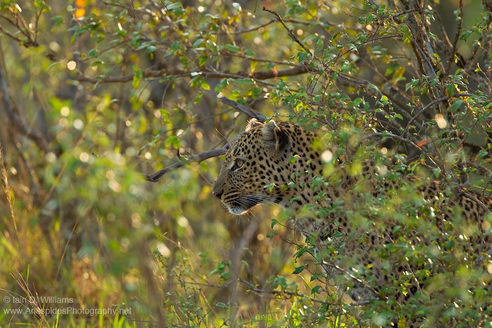 A Leopard (Panthera pardus) in Masai Mara National Reserve in the Republic of Kenya
