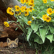 Red Fox kit at a den entrance surrounded by Arrowleaf Balsamroot flowers. Montana, Captive Animal