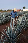 A field manager inspects a field of blue agave plants to see if they are ready for harvest at a farm owned by the Casa Siete Leguas tequila distillery outside Atotonilco de Alto, Jalisco, Mexico. The Seven Leagues tequila distillery is one of the oldest family owned distilleries and produces handcrafted tequila using traditional methods.