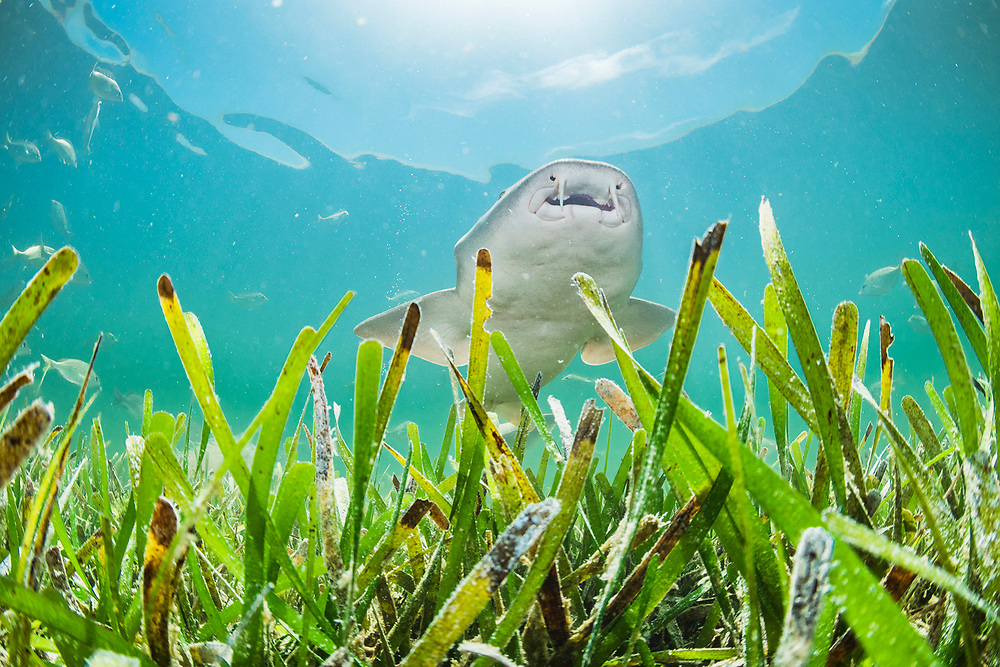 Juvenile nurse sharks will seek shelter from larger predators in seagrass, mangroves and coral reefs.