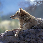 Coyote (canis latrans) Basking in the Sun in Arizona