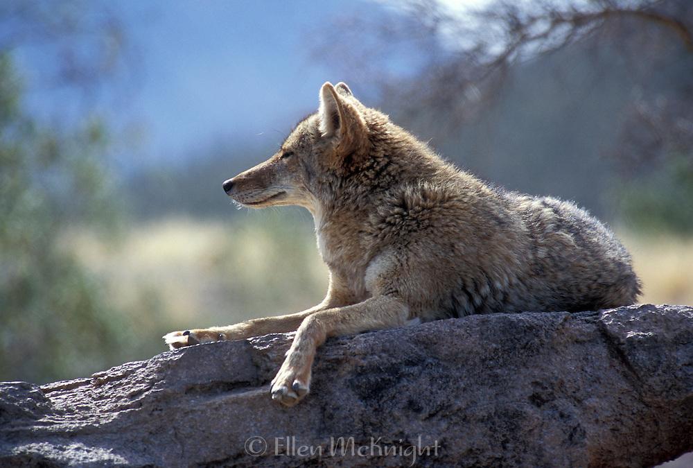 Coyote (canis latrans) Basking in the Sun in Arizona