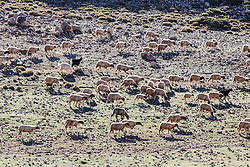 Sheep and goat herd, Atlas Mountains, Morocco