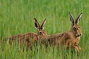 European Brown Hares  (Lepus europaeus) chase each other in a hay field. Islay, Inner Hebrides, Argyll, Scotland, UK. 20Jun16