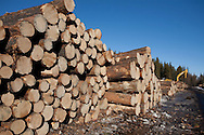 Photo Randy Vanderveen.Grande Prairie, Alberta.A processor sits behind a deck of logs that were harvested as part of the mountain pine beetle control program.