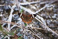 Female common buckeye in the Big Cypress National Preserve, off of Loop Road.