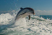 Atlantic Bottlenose Dolphins, Tursiops truncatus, jump and play in the wake of a boat offshore nothern Key Largo, Florida Keys, United States. Image available as a premium quality aluminum print ready to hang.