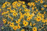 Garden of black-eyed susans.  St Paul Minnesota USA