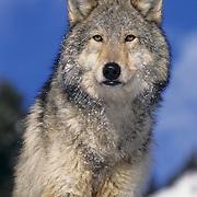 Gray wolf (Canis lupus) Montana, Captive Animal