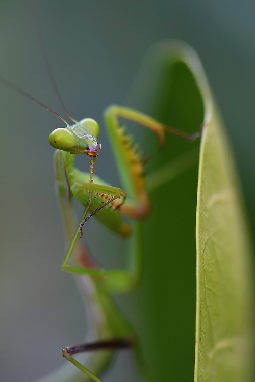 """Young Praying mantis, Mantis sp. Raja Ampat, Western Papua, Indonesian controlled New Guinea, on then Science et Images """"Expedition Papua, in the footsteps of Wallace"""", by Iris Foundation"""