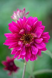 Dahlia 'Purple Haze'