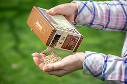 Sowing grass seed - pouring seed out of box into hand