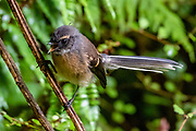 New Zealand fantail / Rhipidura fuliginosa, on the Hollyford Track, Fiordland National Park, Southland region, South Island of New Zealand. The fantail is one of the few native forest bird species that has coped reasonably well with the extensive conversion of lowland native forest to farmland. However, nesting adults, eggs and chicks are not immune from being preyed upon by introduced mammalian pests, particularly by ship rats. In 1990, UNESCO honored Te Wahipounamu - South West New Zealand as a World Heritage Area.