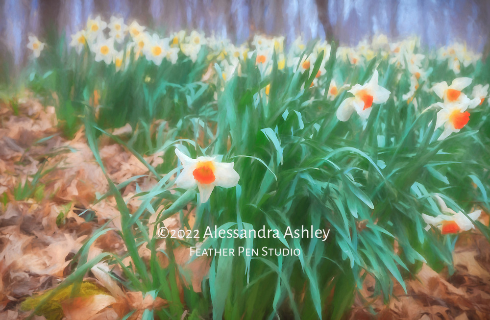 Daffodils emerge in the woods at Furnace Run Daffodil Trail in Cuyahoga Valley National Park after the long winter in northeast Ohio.  Oil paint effects blended with original photograph.