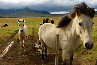 I found these horses on the side of a random road in Iceland. The mother was very friendly, walking up to the fence so I could pet her. But the young foal was more shy.