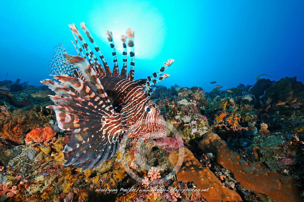Pterois volitans, Gewoehnlicher Rotfeuerfisch, red firefish, Red Turkeyfish, Candidasa, Gili Biha, Bali, Indonesien, Indopazifik, Bali, Indonesia Asien, Indo-Pacific Ocean, Asia