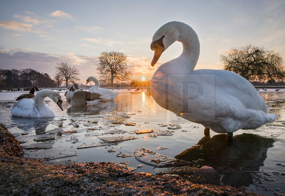 © Licensed to London News Pictures. 11/02/2021. London, UK. Swans and geese amongst the pond ice at a freezing Bushy park, south west London. Overnight temperatures reached -5C in parts of the south east. Photo credit: Peter Macdiarmid/LNP
