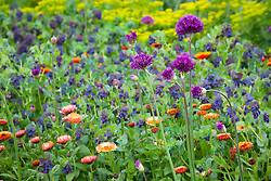 Allium hollandicum 'Purple Sensation' with Cerinthe major 'Purpurascens' (honeywort) and Calendula officinalis 'Sunset Buff' (Pot marigold)